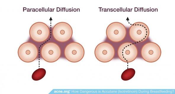 Paracellular Diffusion - Transcellular Diffusion