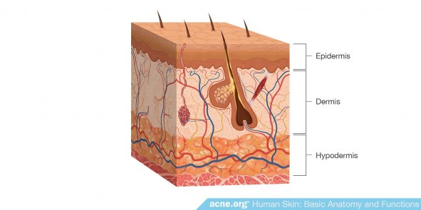 Structure of Human Skin