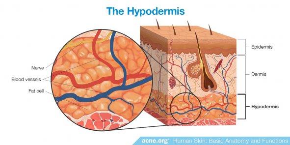 The Hypodermis