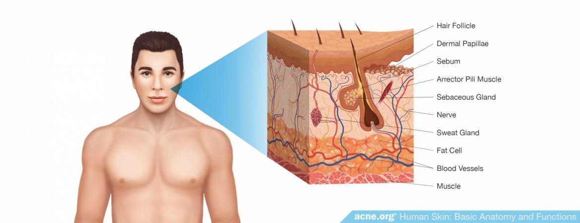 Human Skin: Basic Anatomy and Functions