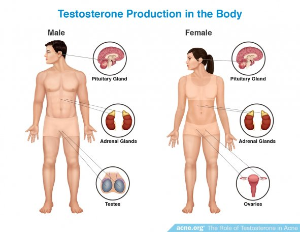 Testosterone Production in the Body