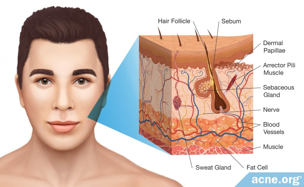 Human Skin Basic Anatomy And Functions Acne