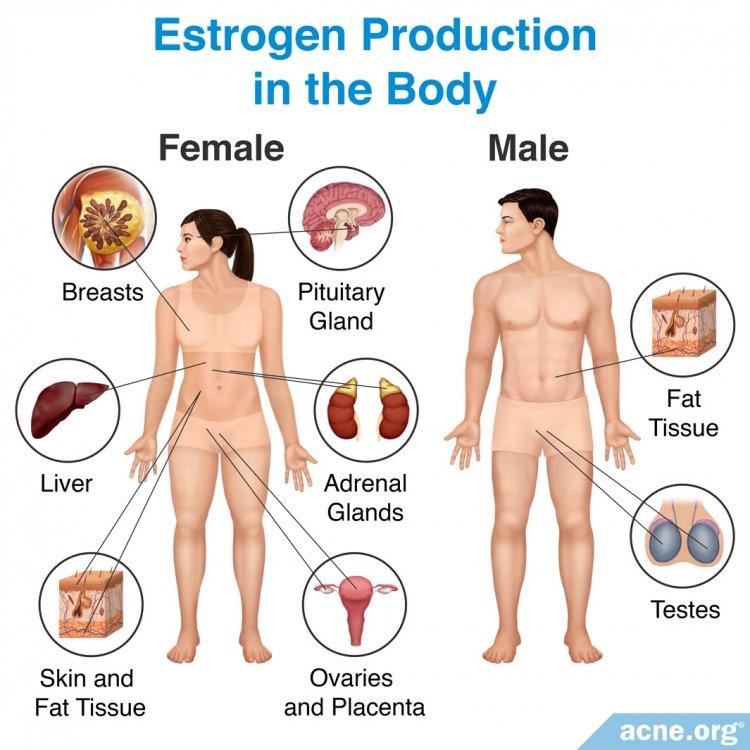 Estrogen Production in the Body