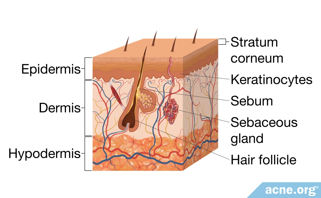 Skin Square Showing Structure of the Skin