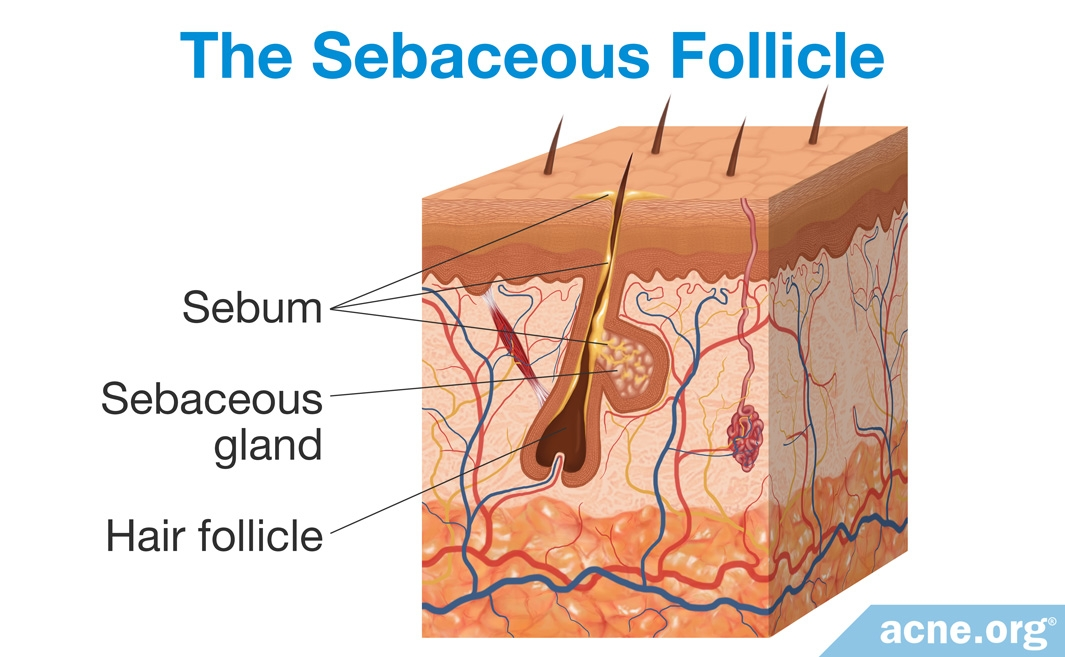 The Sebaceous Follicle