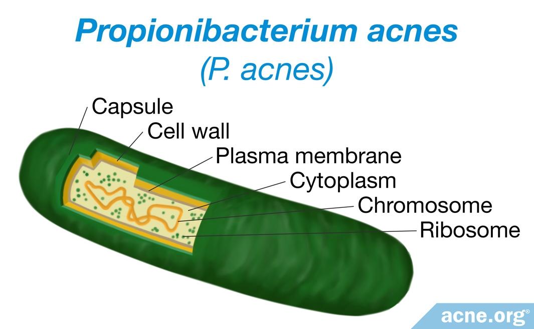 Propionibacterium acnes (P. acnes)