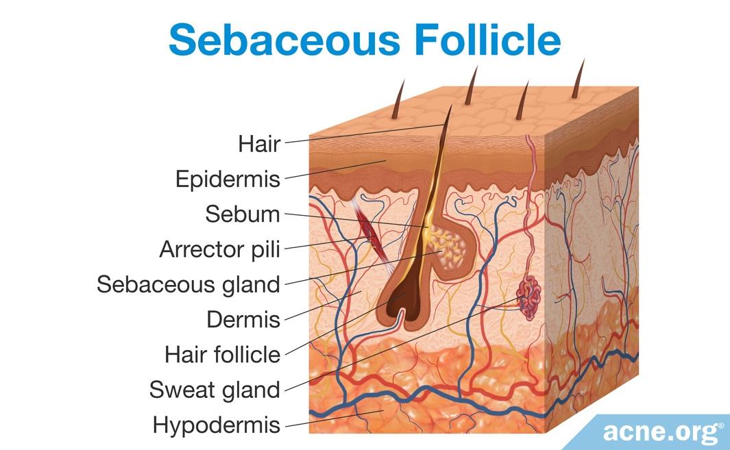 Sebaceous Follicle