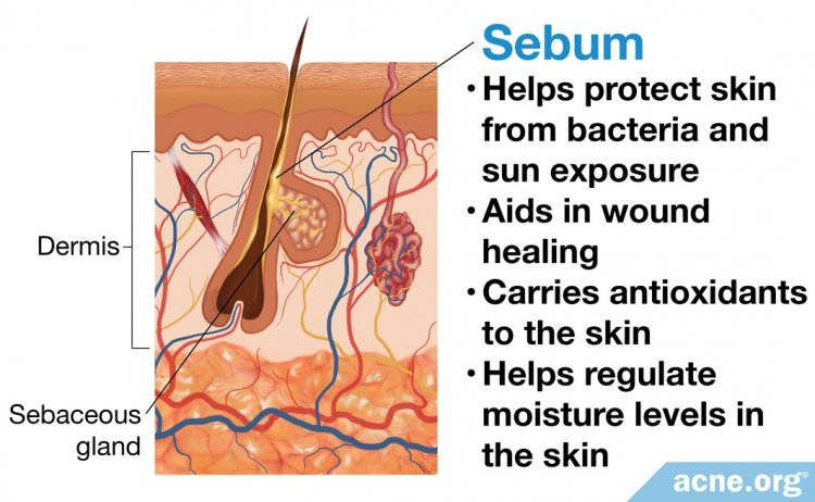 Sebaceous (Skin Oil) Gland