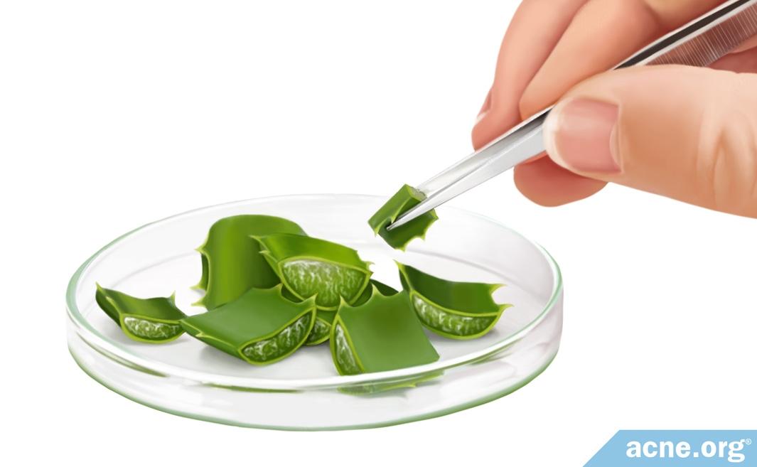 Aloe in Petrie Dish