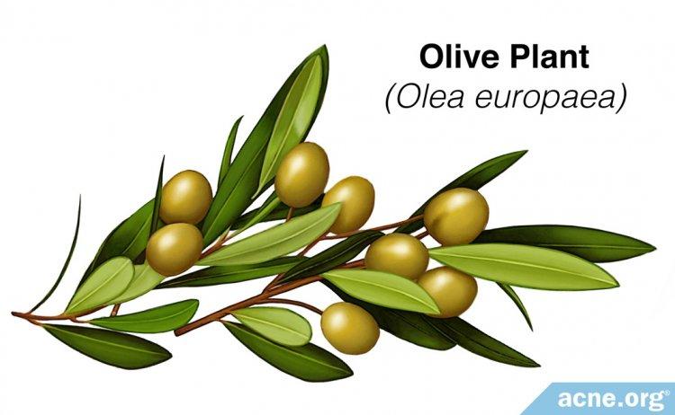 Olive Plant (Olea europaea)