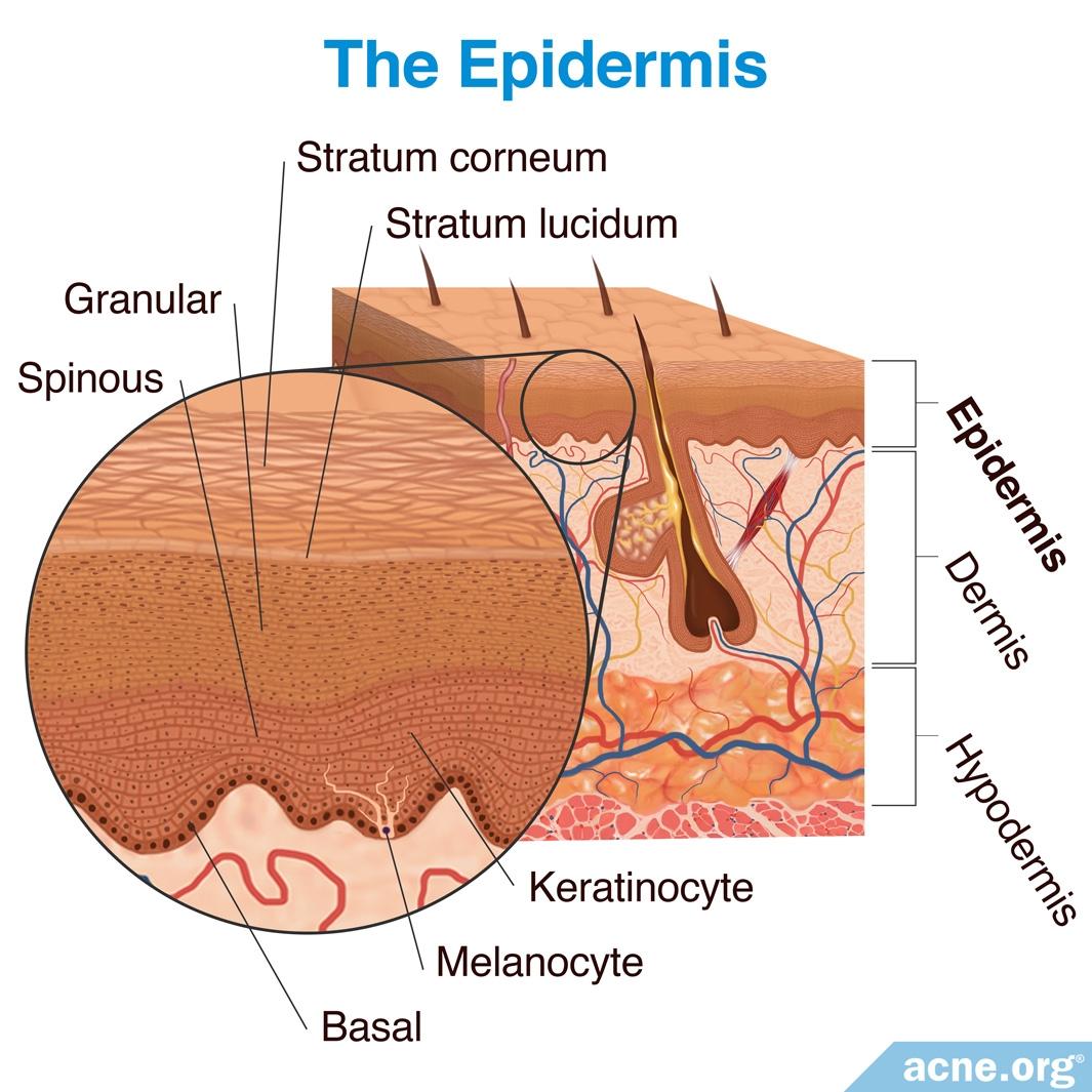 The Epidermis