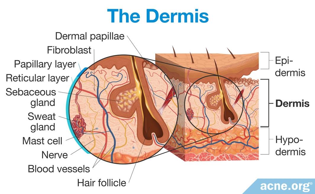 The Dermis