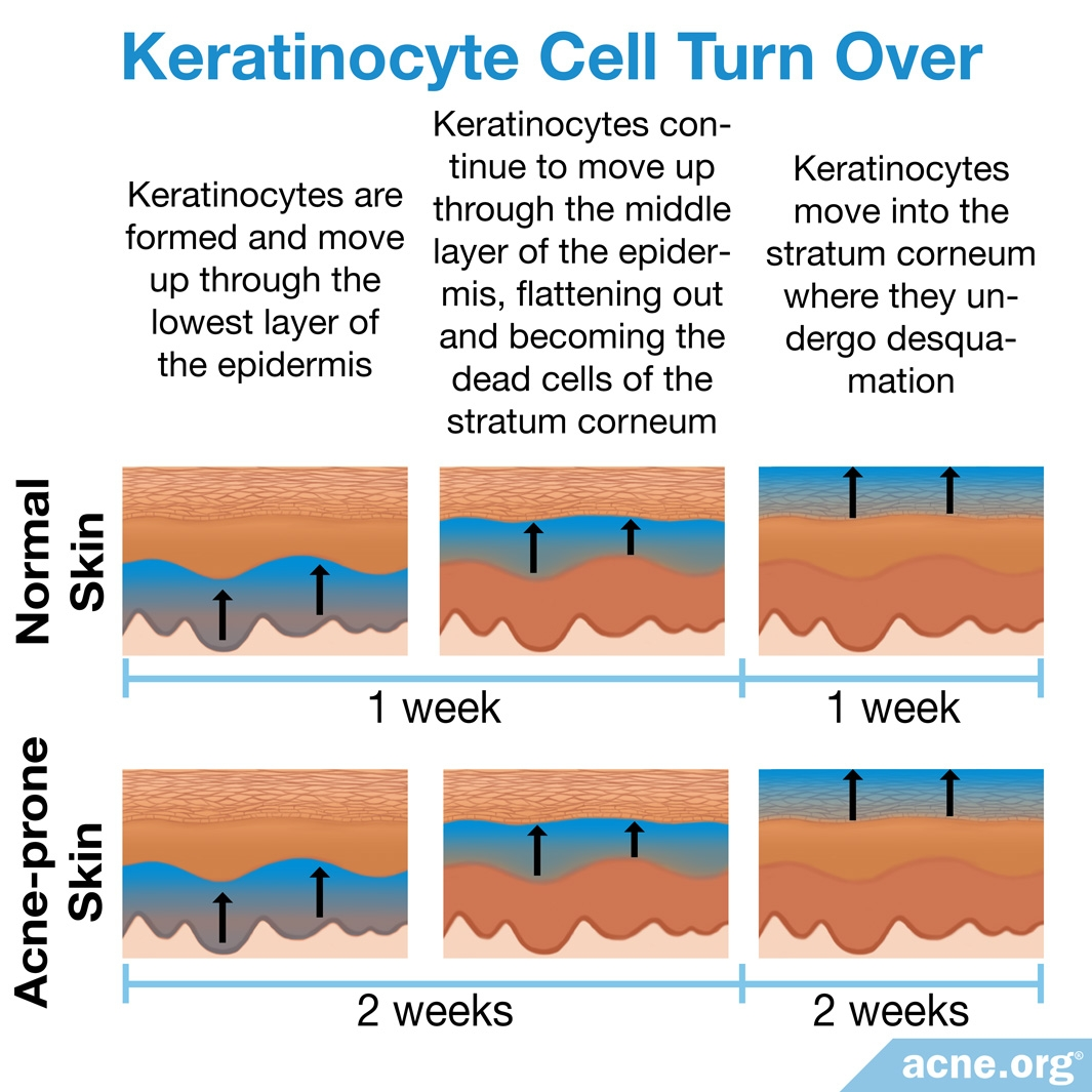 Keratinocyte Cell Turnover
