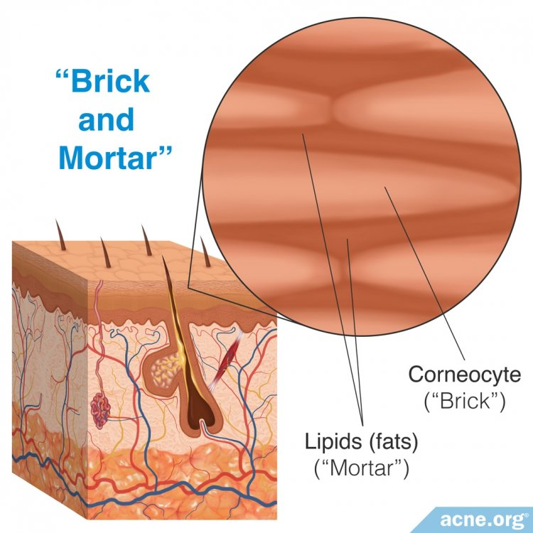 Bricks and Mortar of the Skin: Corneocytes and Lipids