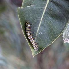 NumerousCaterpillars