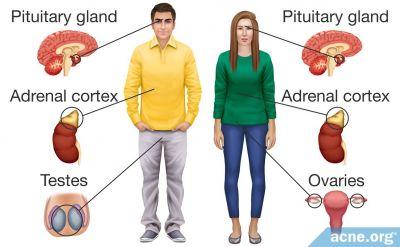 Hormones and Acne - Testosterone and Estrogen